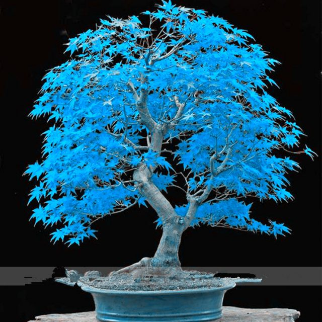 American Blue Maple Seeds 20 pcs