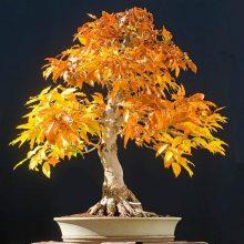 Japanese Bonsai Tree Seeds 8 Kinds 20 Pcs