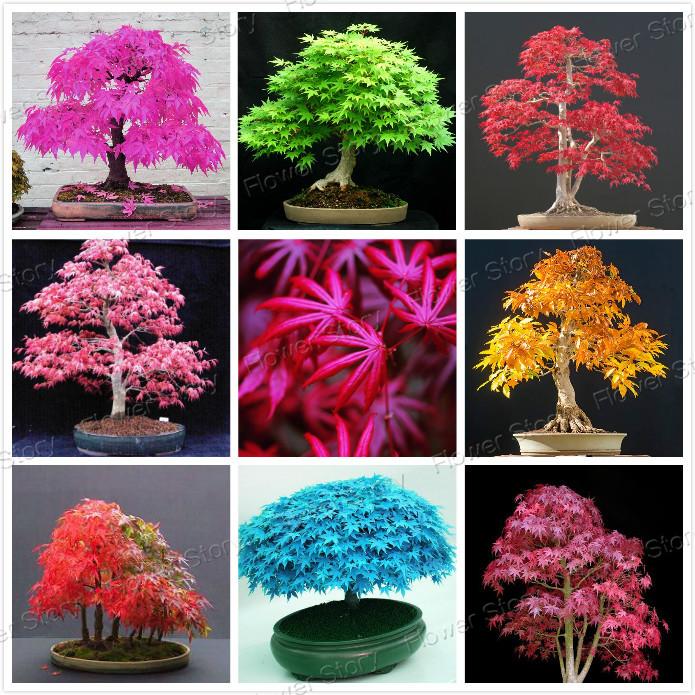 Japanese Bonsai Tree Seeds 8 Kinds 20 Pcs Pure Bonsai