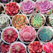 500 pcs Rare Succulent Lithops Cactus Mix